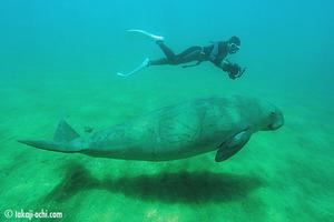 dugong_newcaledonia_20121025_1.jpg